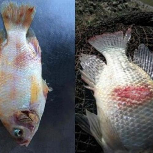 Efectos beneficiosos de las plantas medicinales en las enfermedades de los peces